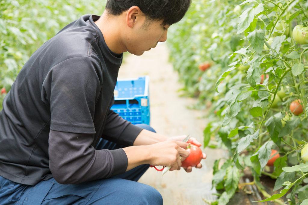 トマトを収穫する出口さん