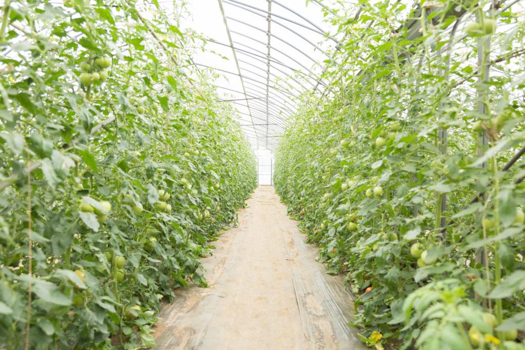 トマトを育てるビニールハウス