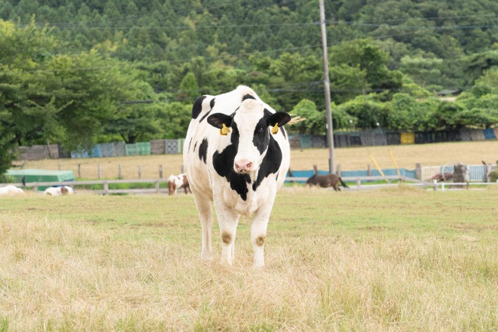 服部牧場の牛