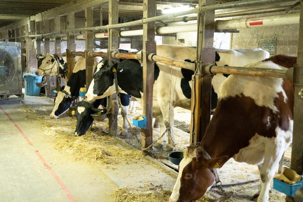 服部牧場の牛舎