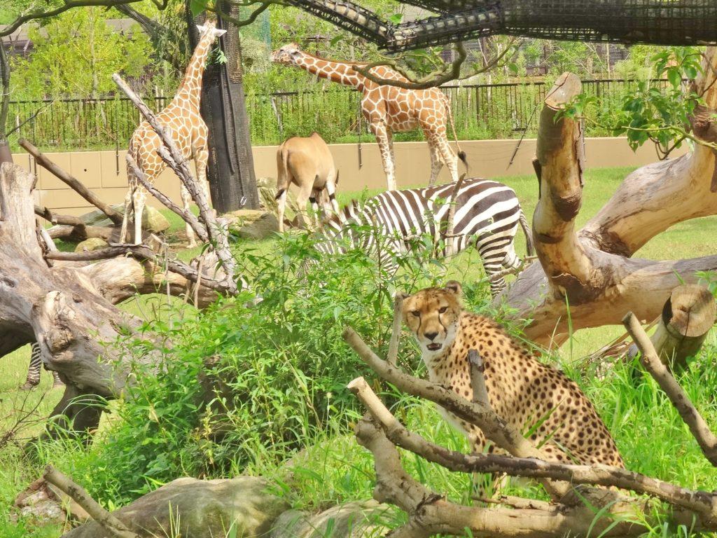 アフリカのサバンナ 4種混合展示